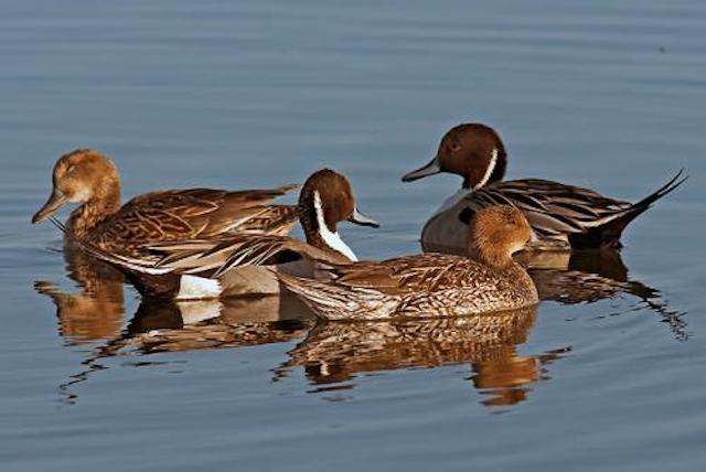 NPintail