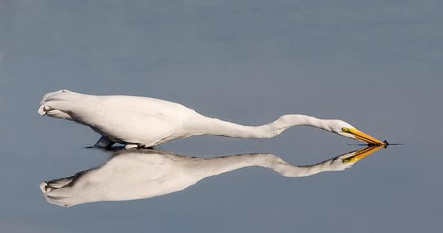 Great egret-ChrisMayne copy