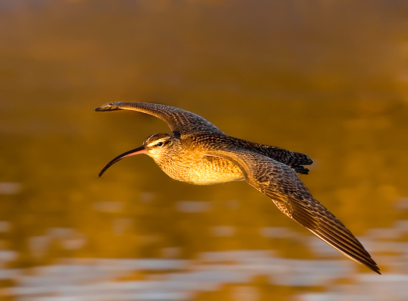Whimbrel copy