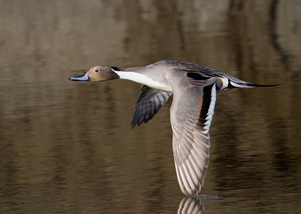 Northern pintail (2) copy